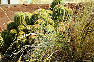 Photograph - Barrel Cacti by Joyce Dickens