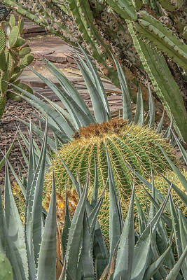 Photograph - Barrel Cactus And Aloe by Tam Ryan