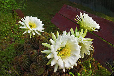 Photograph - Barrel Cactus Blossoms by Joyce Dickens