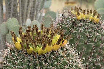 Photograph - Barrel Cactus Closeup by Anne Rodkin