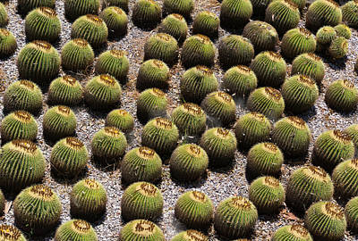 Photograph - Barrel Cactus by Dennis Reagan