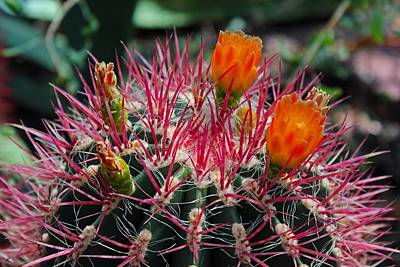 Photograph - Barrel Cactus II by Michiale Schneider