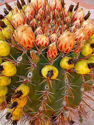 Photograph - Barrel Cactus by Karon Melillo DeVega
