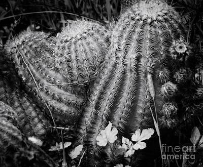 Photograph - Barrel Cactus by Toma Caul