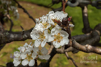 Photograph - Bartlett Pear Blossoms by Glenn Franco Simmons