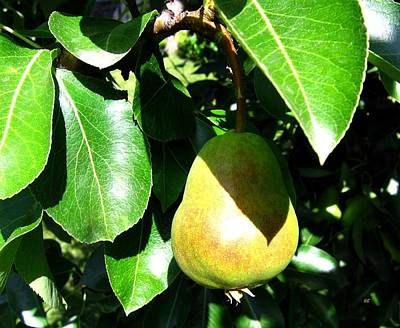 Photograph - Bartlett Pear by Will Borden