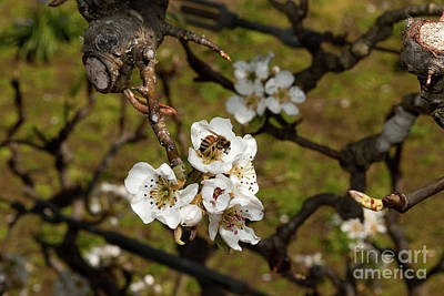 Photograph - Bartlett Pears And A Bee by Glenn Franco Simmons