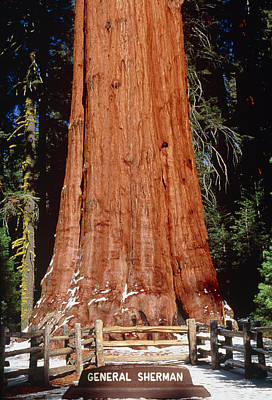 Sequoiadendron Giganteum Photograph - Base Of Giant Sequoia 'general Sherman' by David Nunuk