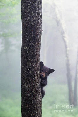 Photograph - Bashful Bear Cub - Fs000230 by Daniel Dempster