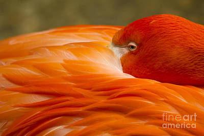 Photograph - Bashful Flamingo by Alycia Christine