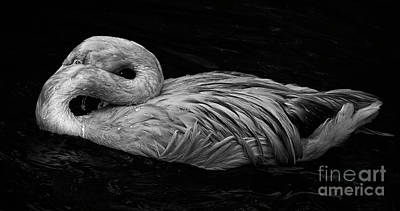Photograph - Bashful Flamingo by Sonya Lang