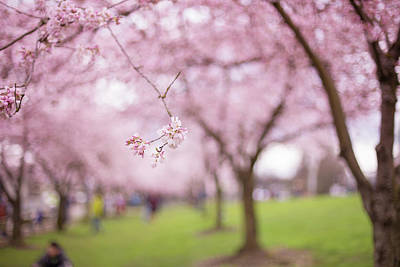 Photograph - Basho's Blossoms by Kunal Mehra