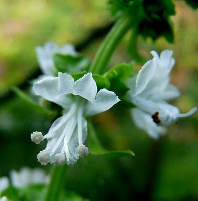 Photograph - Basil Bloom by Valerie Ornstein