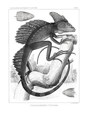 Drawing - Basilisk In Costa Rica by T Sinclair