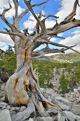 Photograph - Basin Bristlecone by Ray Mathis