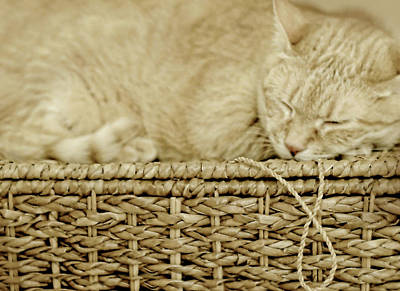 Photograph - Basket Cat by Diana Angstadt