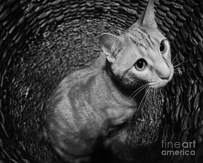 Photograph - Basket Kitten 2 by Patrick M Lynch