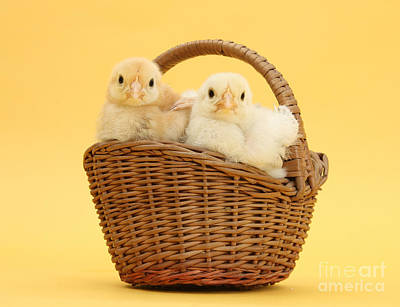 Photograph - Basket Of Yellow Chicks by Warren Photographic