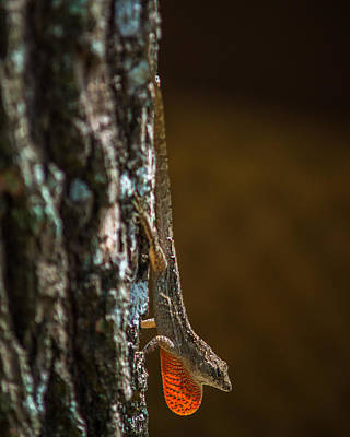 Photograph - Basking Anole by Chris Bordeleau