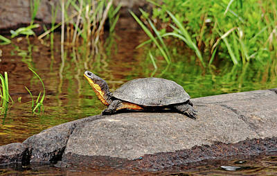 Photograph - Basking Blanding's Turtle by Debbie Oppermann