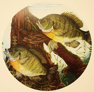 Bluegill Drawing - Basking Bluegills by Bruce Bley