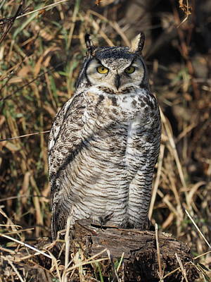 Photograph - Basking Great Horned Owl by James Peterson