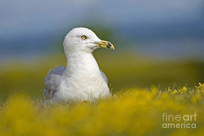Photograph - Basking Gull by Joshua McCullough