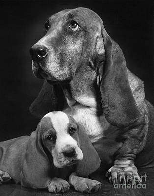 Animal Portraiture Photograph - Basset Hound And Puppy by Ylla