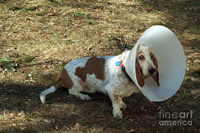 Pet Care Photograph - Basset Hound With Elizabethan Collar by John Kaprielian