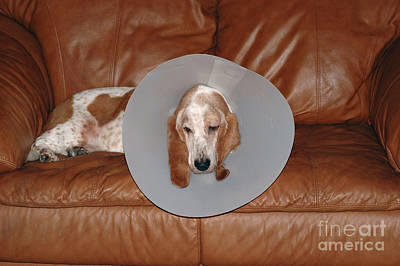 Pet Care Photograph - Basset With Elizabethan Collar by John Kaprielian