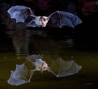 Bat Flying Over Pond Art Print
