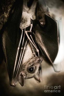 Bat Hanging Alone Closeup Art Print
