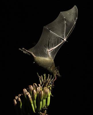Souris Photograph - Bat In Flight by Marie Elise Mathieu