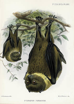 Drawing - Bat Lithograph 1 by Garry McMichael