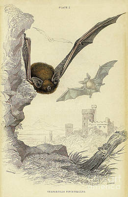 Drawing - Bat Lithograph 4 by Garry McMichael