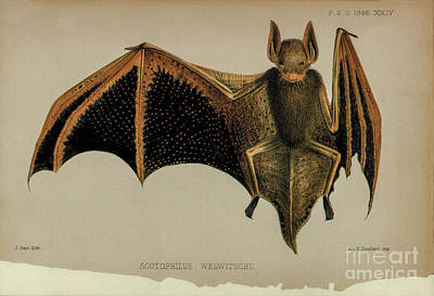 Drawing - Bat Lithograph 5 by Garry McMichael