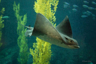 Photograph - Bat Ray by Deana Glenz