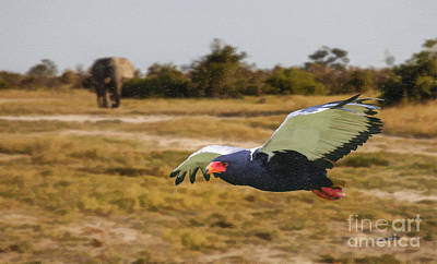 Digital Art - Bateleur Eagle In Flight by Liz Leyden