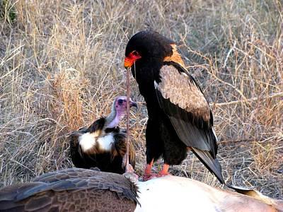 Vulture Mixed Media - Bateleur by Riana Van Staden