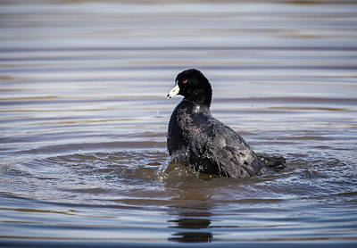 Photograph - Bath Time American Coot-img_043018 by Rosemary Woods-Desert Rose Images