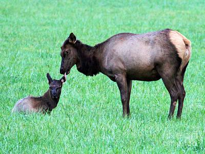 Mammals Photograph - Elk's Bath Time by Jennifer Robin