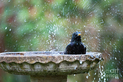 Starlings Wall Art - Photograph - Bath Time by Tim Gainey