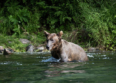 Photograph - Bathing Bear by Gloria Anderson