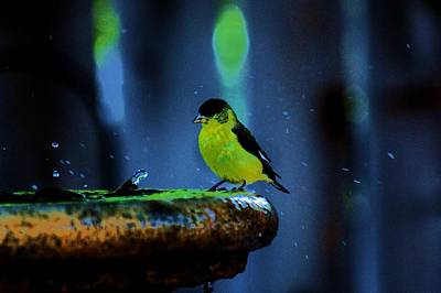 Yellow Warbler Photograph - Bathing Beauty by Helen Carson