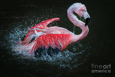 Photograph - Bathing Flamingo by Sonya Lang
