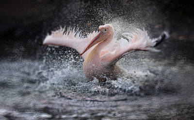 Pelicans Photograph - Bathing Fun ..... by Antje Wenner