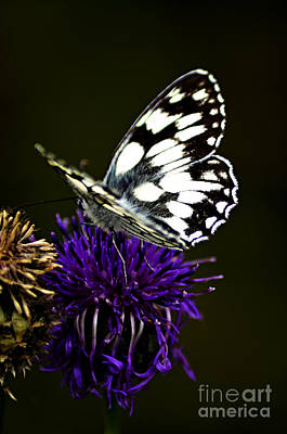 Bathwhite Butterfly Print by Steven Brennan