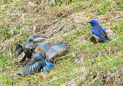 Bluebird Photograph - Battle For His Attention by Mike Dawson