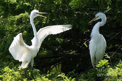 Battle Of The Egrets Art Print