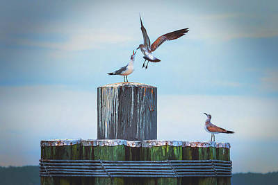 Photograph - Battle Of The Gulls by Cindy Lark Hartman